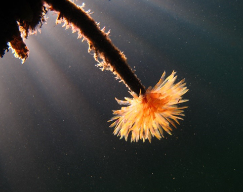 Mediterranean fanworm