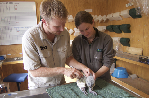 James and Kaz microchipping a kākāpō chick