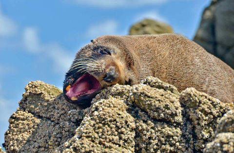 NZ fur seal.