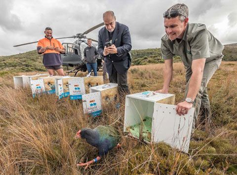 Takahē release at Gouland Downs.