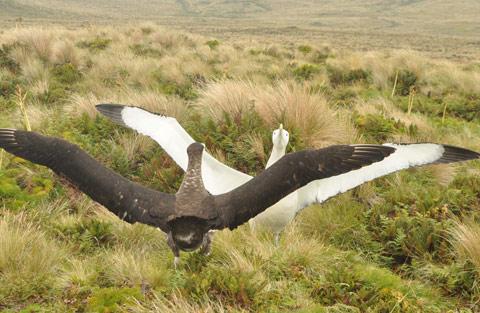 Antipodes Island wandering albatrosses.