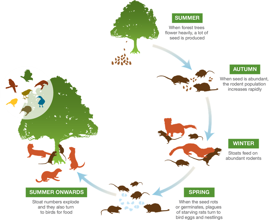 Stoat plague cycle showing how rodent populations increase throughout autumn, winter and spring if forest trees flower heavily during the summer time