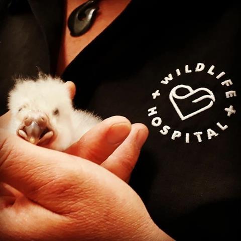Lisa from the Dunedin Wildlife Hospital with chick during 2019 breeding season
