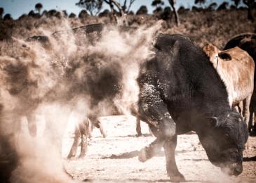 RFTTE Dusty Bull