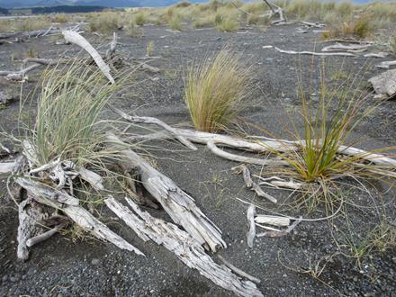 Spinifex, sand tussock and pingao