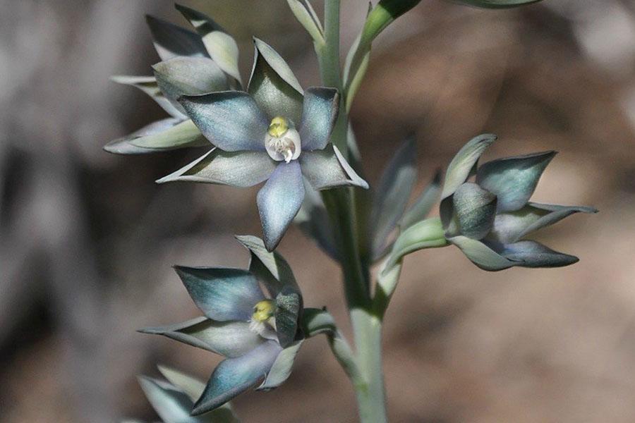 Metallic Sun Orchid (Thelymitra epipactoides)