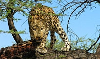 Namibia - big cats