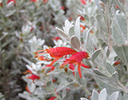 Eremophila glabra 'Murchison Magic'