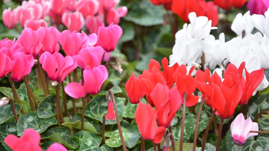 Arrington Garden Centre Spring Bulbs September 2018