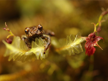 Two species named after Puro: an orchid (Teagueia puroana) and a frog (Pristimantis puruscafeum). © Andy Orchard.