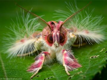 Walker's Moth. © Thomas Shahan.
