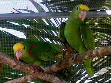 Yellow-headed Parrots in flight cage. © Programme for Belize.