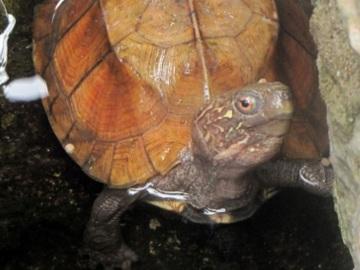 Keeled Box Turtle. © Viet Nature.