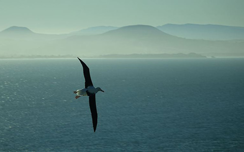 Toroa/northern royal albatross.