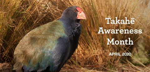 Takahē Awareness Month - April 2020.  Photo by S. Stirrup