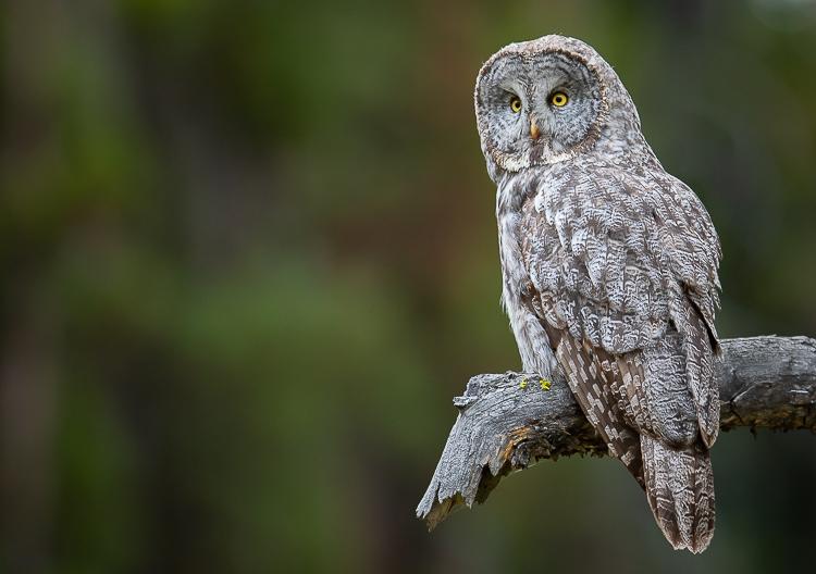 Jackson Hole Photography Tours - Owl